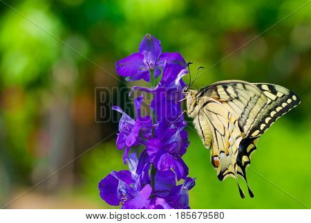 Old World Swallowtail (Papilio machaon) butterfly on a blue flower at sunny summer day.