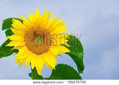 Closeup sunflower picture against blue sky .