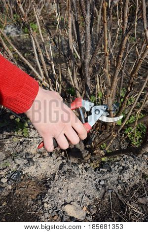 Gardener hand cutting blackcurrant plant bush with bypass secateurs. Blackcurrant bush pruning with bypass secateurs.