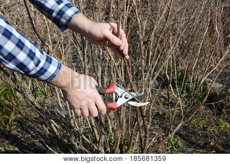 Blackcurrant bush pruning with bypass secateurs. Gardener cut blackcurrant bush branch in springtime.