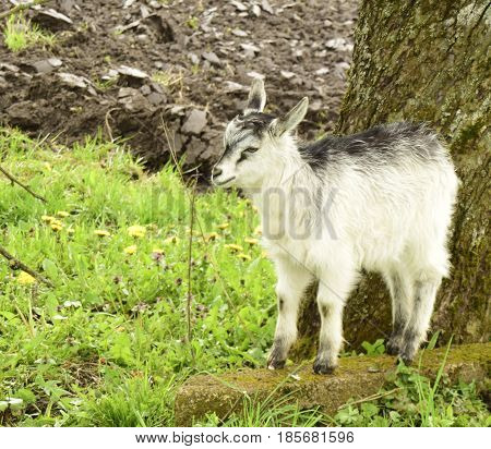 The young goat is in the village outdoors