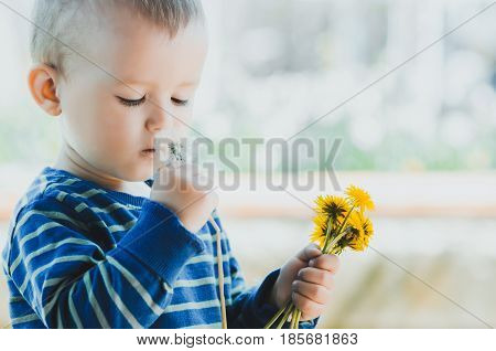the child holds in his hand a pinch of yellow dandelions and smelling dandelion white