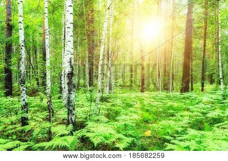 Green summer forest at the sunset lit by bright summer warm light breaking through the forest trees. Soft filter processing.Forest birches in the summer evening -summer forest background. Forest summer nature. Summer forest landscape view