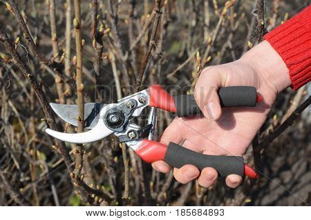 Gardener hand cut blackcurrant (Ribes nigrum) branch with bypass secateurs.