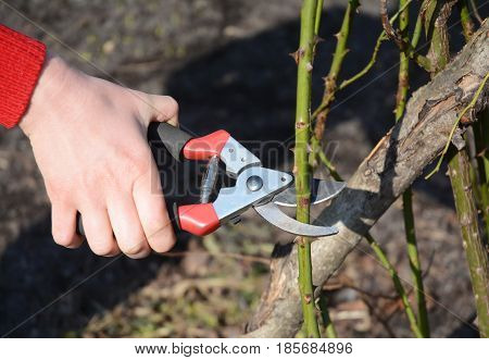Gardener pruning Roses bush branch in the garden. Prune Climbing Roses. How to Prune Roses Bush.