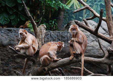 Trio of javan lutung monkeys all sitting in a tree.