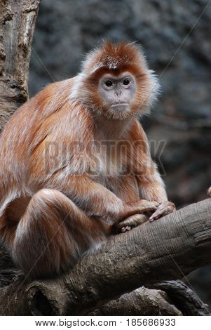 Gorgeous face of a javan lutung monkey in a tree.
