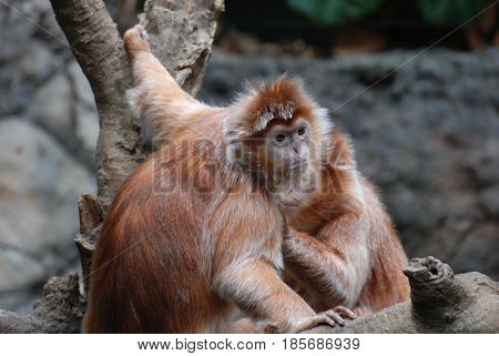 Two red langur monkeys grooming each other.