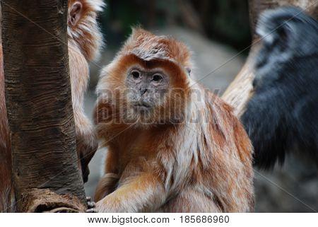 Really cute javan langur monkey hanging in a dead tree.