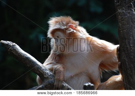 Langur monkey holding on to a tree branch.