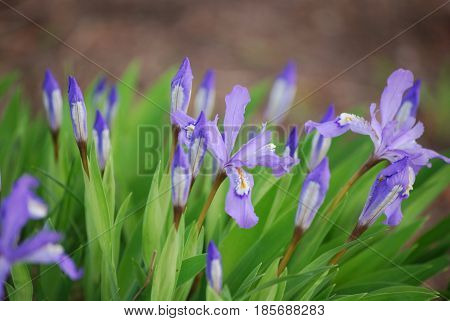 Flowering purple Siberian Iris flowers blooming in a garden.