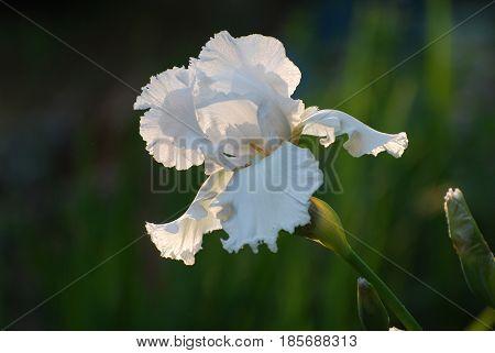 Flowering white bearded iris in a garden.