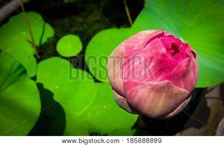 Pink lotus flower on green lotus blur in pot