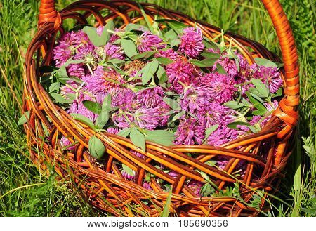 Gather Herbs for Herbal Tea. Trifolium pratense. Red clover is commonly used to make a sweet-tasting herbal tea. It is an ingredient in some recipes for essiac tea herbal tea.