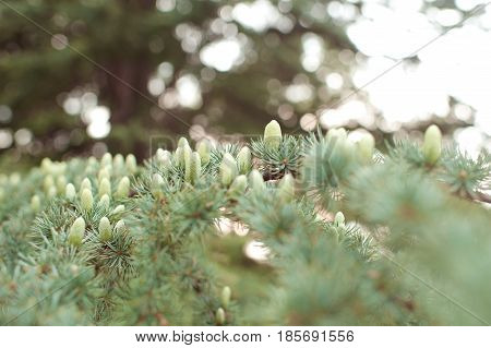 Small green cones on fir tree closeup. Spring time. Selective focus.