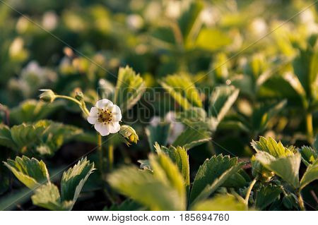 Bushes of strawberries growing in the garden Shallow depth of field focusing on strawberry flower