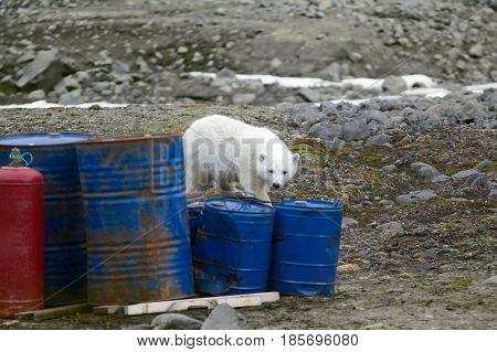 Polar Bears In Arctic. This Bear Still Drinks Milk, But Curious