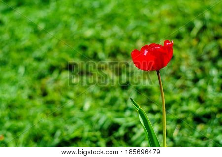 Red Tulip On Background Of Green Grass, Shallow Depth Of Field, Copy Space