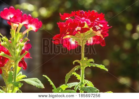 Red flowers verbena in the summer garden on a sunny day on a blurred background backlit macro