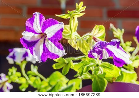 White and violet petunia flower backlit on a sunny summer day close-up