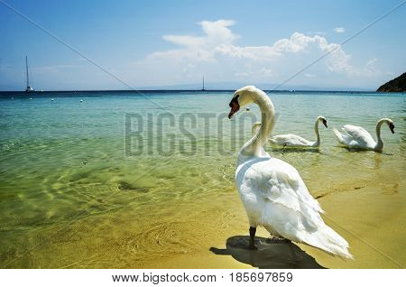 Swans on Koukounaries beach in Skiathos Greece.