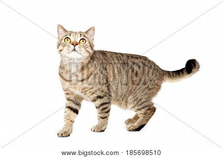 Cat Scottish Straight, standing looking up, isolated on white background