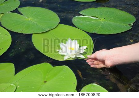 Nymphaea alba also known as the European white water lily white water rose or white nenuphar with women hand.