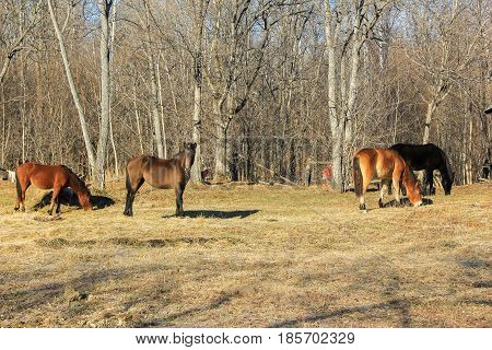 Young horses grazing in the spring. .