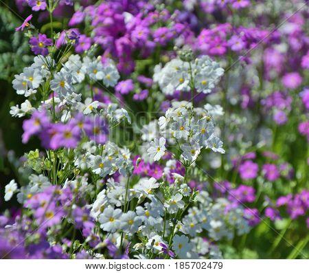 White and purple spring primrose flowers in garden