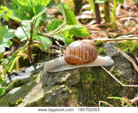 Escargot snail living in the garden,  Helix pomatia