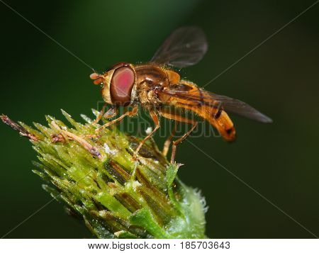Macro shot of a hoverfly resting on tip of plant