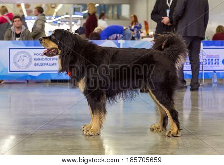 Moscow, Russia - March 19, 2017: International dog show EURASIA-2017. Buryat-Mongolian wolfhound Also Known As Hotosho. Is a guards breed of dogs, distributed in Buryatia, Mongolia and adjacent regions.