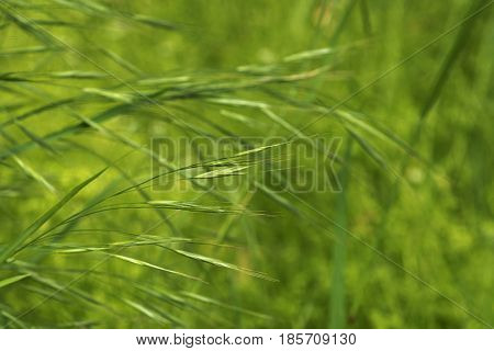 green spikelets on a green background spring is a riot of young grass