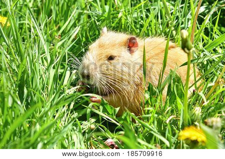 Coypu sitting in the grass on the river bank