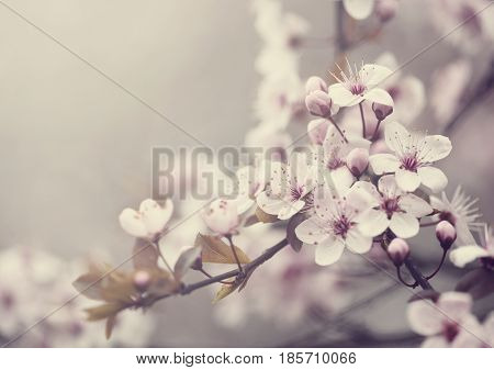 Beautiful spring blossom flower. Retro style image