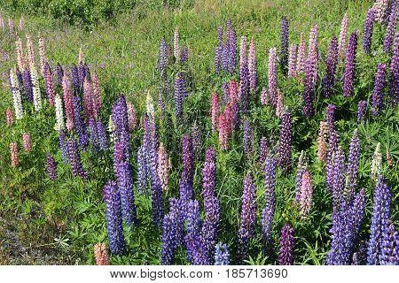 Lupine Flowers, Norway