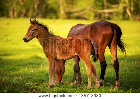 A horse with his foal grazes on a spring green pasture against a background of a green forest in the setting sun