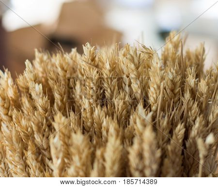 Bunch of golden wheat. Bunch, cereal, agriculture.