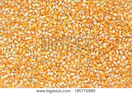 Texture corn seeds dry on white background.