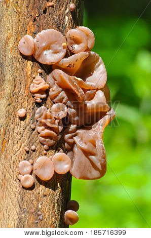 Auricularia auricula-judae, delicious Judas Ear mushrooms grows on wood. Healing mushroom in forest.