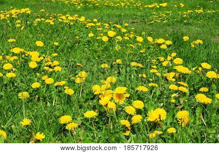 Meadow Of Dandelions to Make Dandelion Wine.