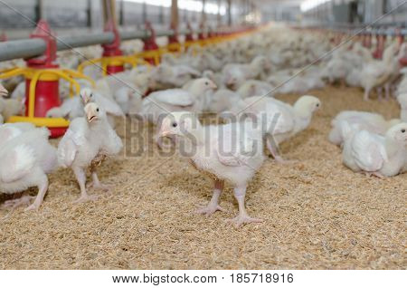 Factory farming of white chickens , Poultry farm.