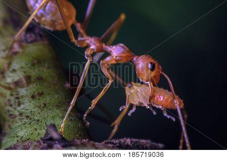 Red worker ant carrying larvae macro shot.