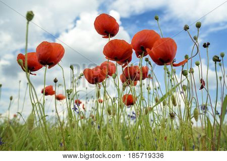 Beautiful red poppies closeup in green field