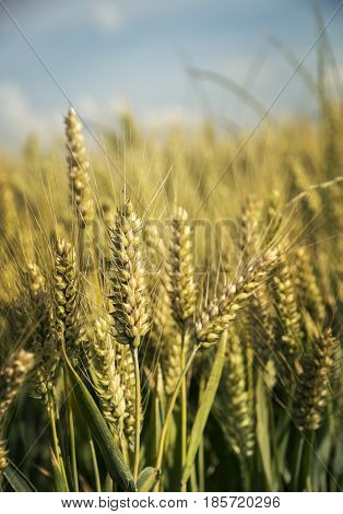 Closeup of wheat ears in field in summer.