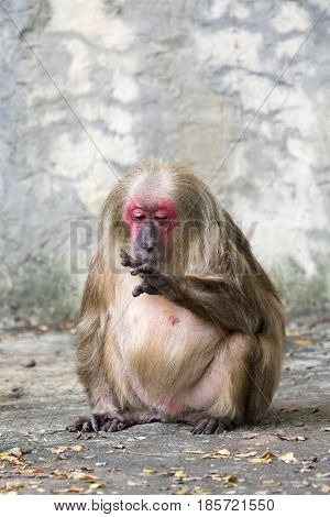 Image of a monkey on nature background. Wild Animals. (Stump-tailed macaque)