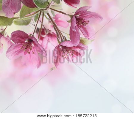 Beautiful cherry blossom closeup. pink spring flower brunch