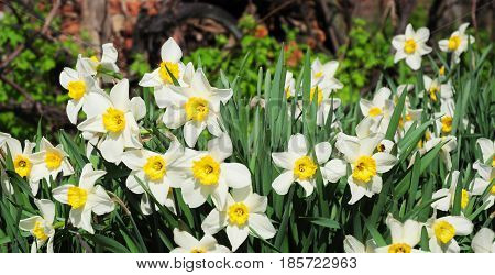 Panoramic view on White spring narcissus flowers. Narcissus flower also known as daffodil daffadowndilly narcissus and jonquil.