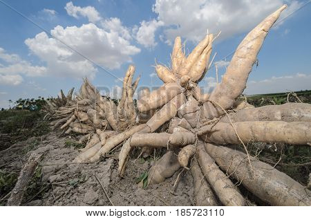Pile of fresh cassava harvested in farmland.