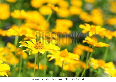 Yellow flowers with soft focus. Yellow flowers with colorful soft background. Rudbeckia are commonly called coneflowers and black-eyed-susans.